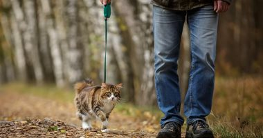 دراسة: القطط الأليفة المتجولة فى الهواء الطلق أكثر عرضة بثلاثة أضعاف للعدوى