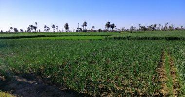 الزراعة: ارتفاع صادرات البصل لـ602 ألف طن فى 2019