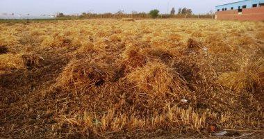 محافظ الغربية: توريد نسبة 101% من محصول القمح بإجمالى 135 الف و279 طن