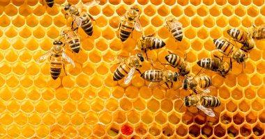 مرض قاتل يدمر خلايا النحل فى بريطانيا.. تعرف عليه