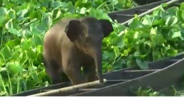 شاهد: إنقاذ فيل صغير من وسط بحيرة فى الهند ونقله على متن قارب