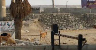 شكوى من انتشار الكلاب الضالة بشارع اللاسلكى فى المعادى