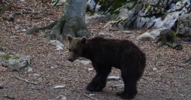"""الدب """"كلافرينا"""" يتسبب من جديد فى أزمة دبلوماسية بين فرنسا وإسبانيا"""