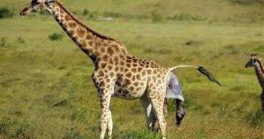 دعاة حفظ البيئة يحذرون: الزراف فى طريقه للانقراض والعالم بحاجة إلى التحرك