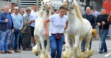 أبيض وأسود وزى ما تحب .. بيع وشراء أجمل الخيول بمعرض ويكهام