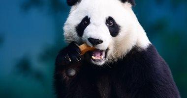 مش بس للمراقبة.. الصين تستعين بتقنية التعرف على الوجه لحماية الباندا