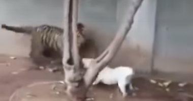 فيديو.. نهاية غير متوقعة لمعركة بين كلب وصغير النمر