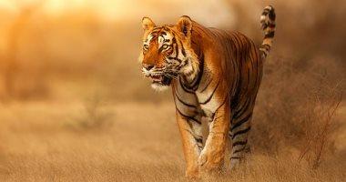نمر يقطع 1300 كيلومتر فى 150 يوماً للتزاوج فى 6 مقاطعات بالهند