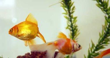 لو بتربى سمك وعايزة يعيش معاكى فترة أطول.. نصائح لازم تنفذها