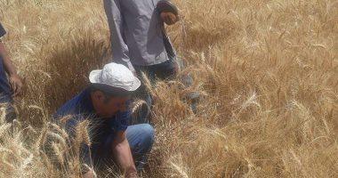 محافظ بني سويف: استئناف توريد القمح بعد انتهاء أجازة العيد بنظام الفترة الواحدة