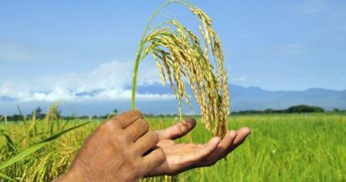 خبير مناخ زراعى يقدم روشتة لمزارعى الأرز تجنبا لمخاطر إصفرار المحصول