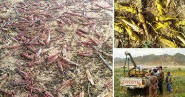 الزراعة: فرق مسح لتجمعات الجراد الصحراوى بالمناطق الحدودية
