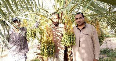 زراعة الوادى الجديد ترشد المزارعين عن كيفية رعاية محصول البلح .. صور