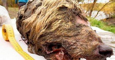 تفاصيل العثور على رأس ذئب عمره 40 ألف عام فى سيبريا