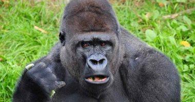 إعطاء مجموعة من القرود والغوريلا لقاحات كورونا فى حديقة حيوان أمريكية