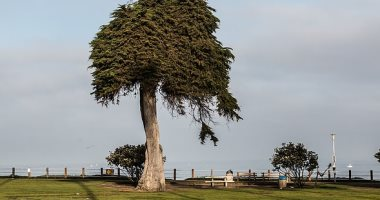 سقوط شجرة نادرة عمرها 100 عام فى كاليفورنيا.. والسبب مجهول