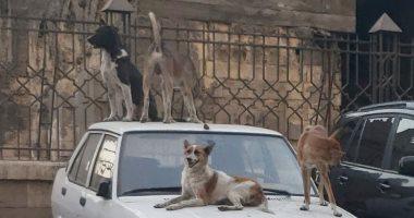 شكوى من انتشار الكلاب الضالة بالحى السويسرى فى الحى العاشر