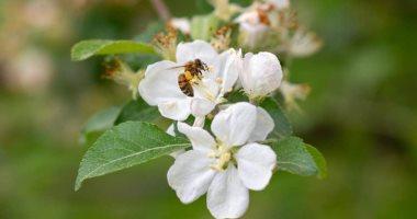 العلماء يكتشفون طريقة غريبة يقتل بها نحل العسل الأنواع الأخرى