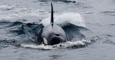 علماء يستعينون بالأقمار الصناعية لتحديد موقع الحيتان العالقة