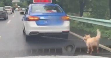 كلب يُجر بحبل من رقبته فى سيارة يثير تعاطف الصينيين