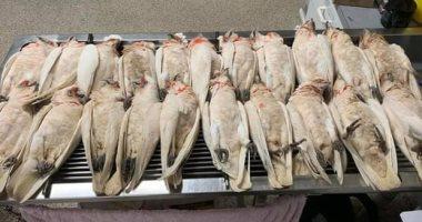 سقطوا من السماء.. نفوق 60 طائرا فى أستراليا بسبب حالة تسمم
