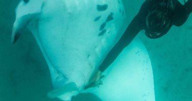سمكة شيطان البحر تقترب من الغواصين بأحد سواحل غرب أستراليا.. اعرف القصة