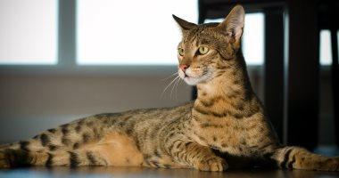 أبرزها قط أشيرا.. قطط تتراوح أسعارها مابين ألف و مليون دولار