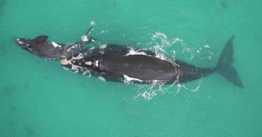 كيف تحمى الحيتان أبناءها من الأنواع المفترسة.. دراسة توضح