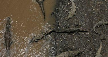 التماسيح تملأ نهر تاركوليس فى كوستاريكا بأمريكا الوسطى