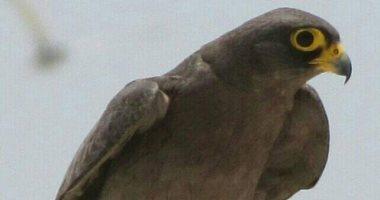 """صور.. """"صقر الغروب والعقاب النسارى والنورس"""" طيور لا تهجر  شواطئ البحر الأحمر"""