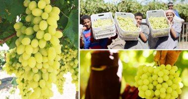الزراعة تعلن إرشاداتها لتسميد ورى العنب وتخزين المحصول.. تعرف عليها