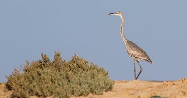 """6 معلومات عن طائر """"البلشون الجبار"""" أحد ثروات المحميات الطبيعية فى مصر"""