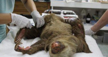 """رجال إنقاذ محمية أمريكية ينقدون حياة حيوان """"الكسلان"""" بعد صعقه بالكهرباء"""