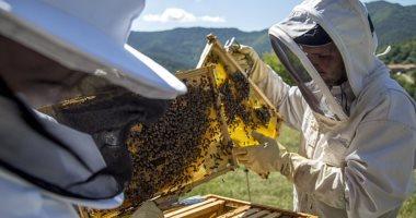 نقل ما يقرب من مليون نحلة لحمايتها من ارتفاع درجات الحرارة.. اعرف التفاصيل