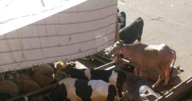 """""""سلخانة فى الشارع"""".. شكوى من قيام جزار بذبح الماشية فى الحى الأول بالعبور"""
