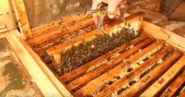 """""""النوم مع النحل"""" طريقة جديدة للعلاج وتخفيف الآلام فى ليتوانيا.. فيديو"""