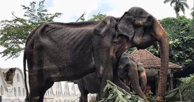 الرحمة حلوة .. استغلال فيل يعانى من الهزال فى مهرجان بسريلانكا