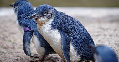 بسبب اختفاء الفئران والكلاب.. تزايد أعداد طائر البطريق الأزرق فى نيوزيلندا