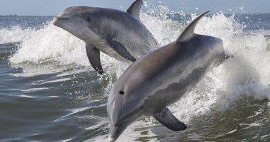 الدلافين بإيطاليا تموت من فيروس شبيه بالحصبة.. اعرف التفاصيل