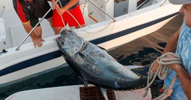 """صيد """"سمك التونة"""" فى جبل طارق..تقليد يعود لأيام الفنيقيين ومصدر عيش للكثيرين"""