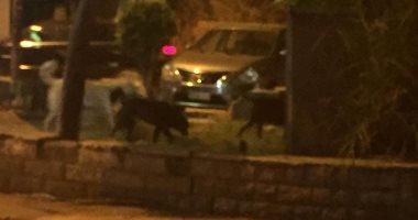 الكلاب الضالة تغزو شارع سليمان أباظة بالمهندسين.. والأهالى يستغيثون