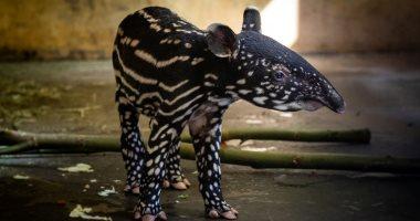 شبه الخنازير ومهدد بالانقراض.. أنثى تابير تضع مولودها الثالث فى حديقة حيوان ببلجيكا