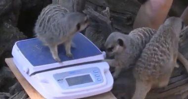 شاهد.. حديقة حيوان لندن تجرى قياسات وزن للحيوانات
