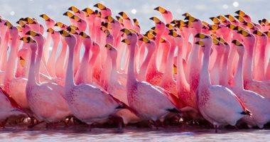 رجعت مكانها.. طيور الفلامنجو الوردى تعود لليونان فى موسم الهجرة للجنوب