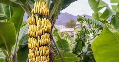 الزراعة تحدد 10 توصيات لرى وتسميد محصول الموز.. تعرف عليها