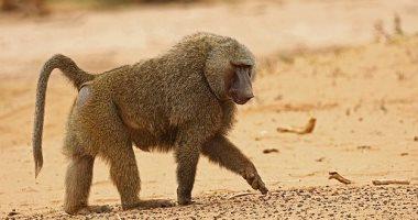 اكتشاف: القردة تجمع بين النغمات الصوتية لإنشاء محادثات مختلفة