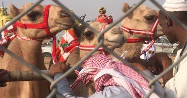 """فيديو وصور.. """"القسم"""" إجراء إجبارى لمشاركة الهجن بسباقات مهرجان الطائف بالسعودية"""