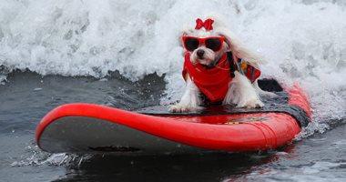 صدق أو لا تصدق.. مسابقة ركوب الأمواج للكلاب فى كاليفورنيا