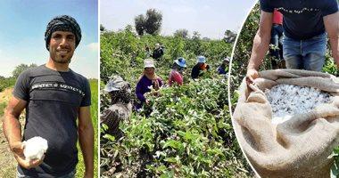 ننشر توصيات وزارة الزراعة للتخلص من لوزة القطن العالقة وإخلاء الأرض للمحاصيل الشتوية