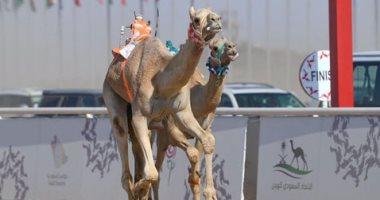 صور.. الهجن الإمارتية تحقق الفوز بأشواط المساء فى سباق الهجن بالسعودية